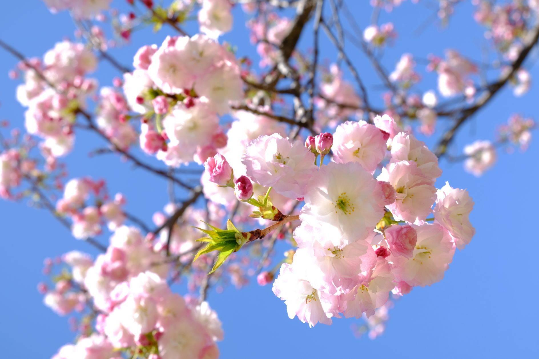 peach blossom Bild Ihres Kunstwerks an der Wand