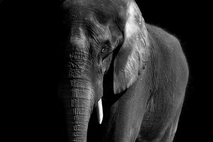 BW African Elephant