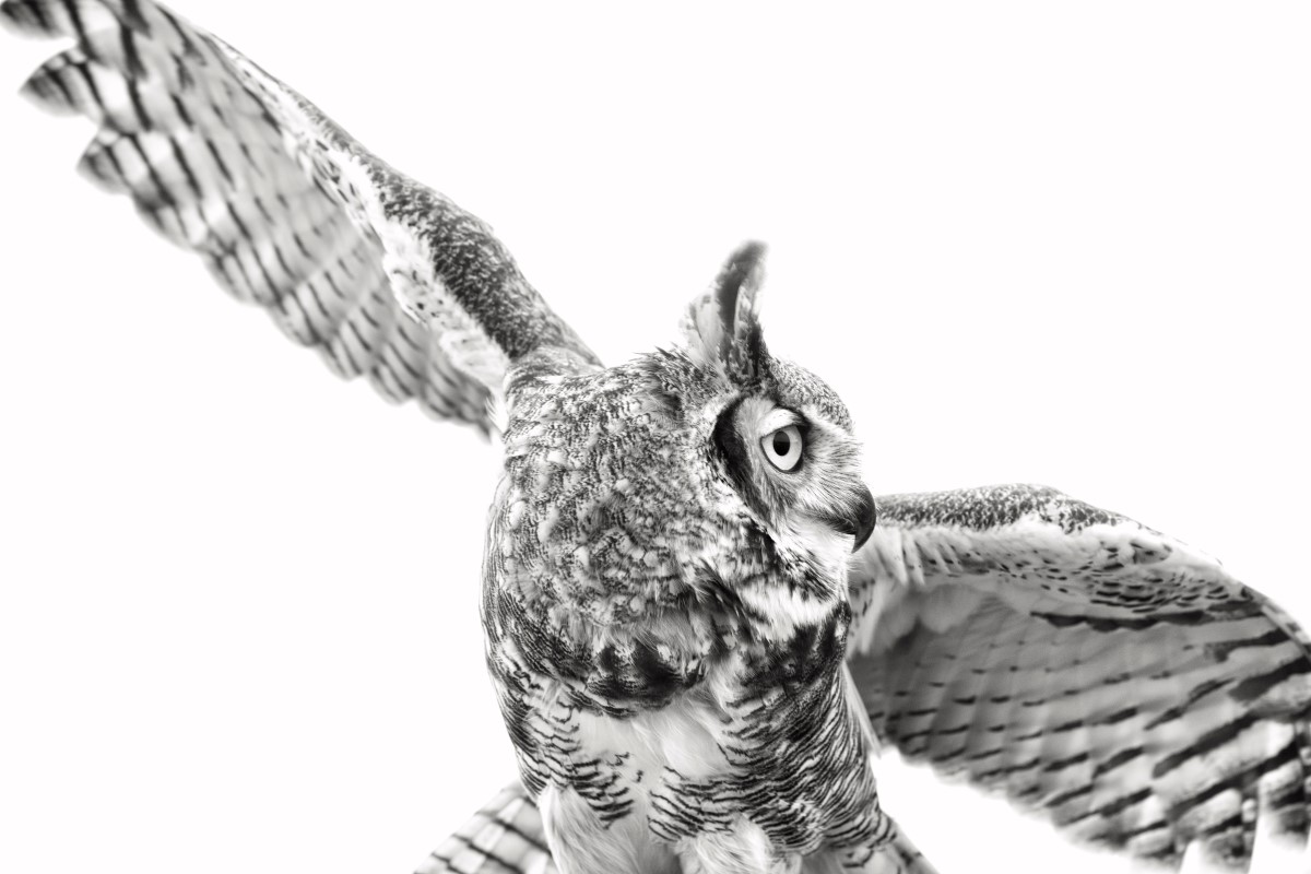Great Horned Owl in Black and White