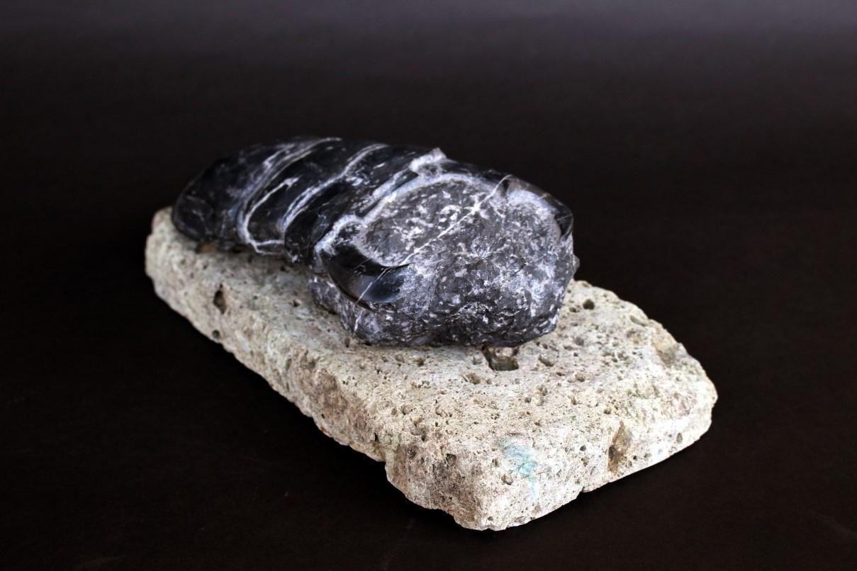 Fossil -Dorcus antaeus