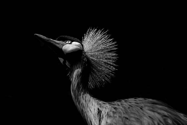 BW African Crowned Crane