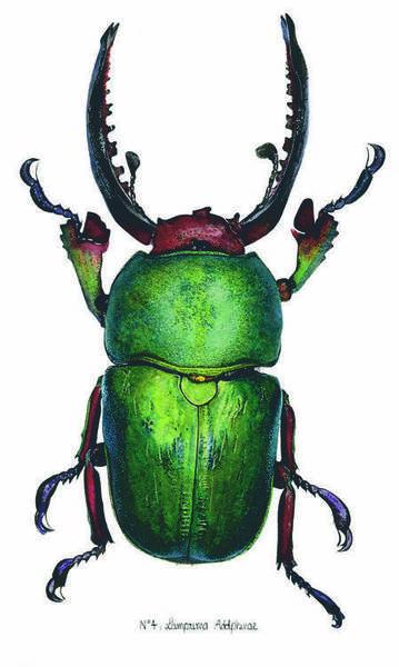 N°4 - Lamprima Adolphinae