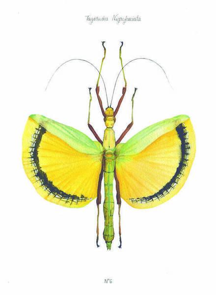 N°6 - Tagesoidea Nigrofasciata