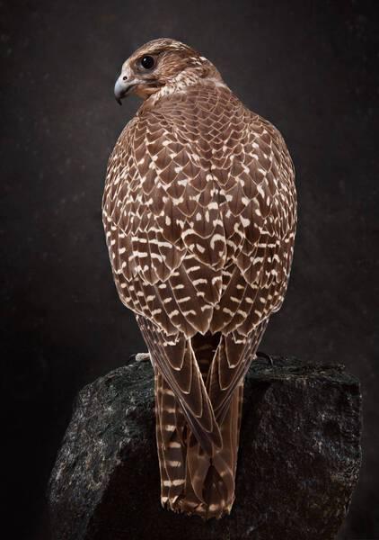Gyr Falcon Brown (GY323)