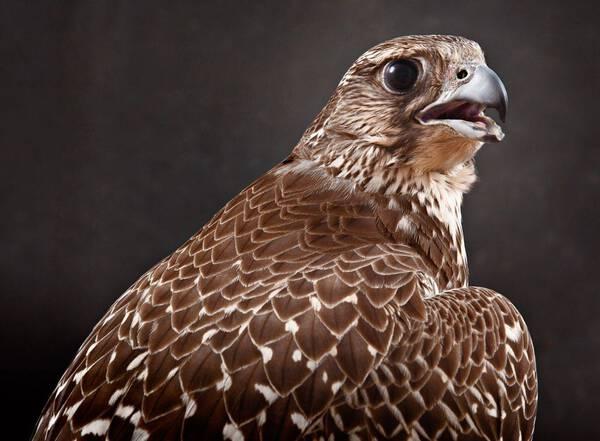 Gyr Falcon Brown (GY211)