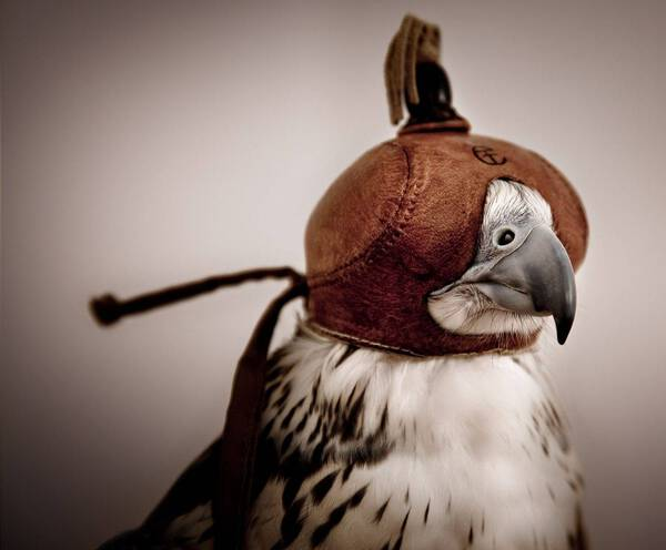 Saker Falcon Hooded (SA118)
