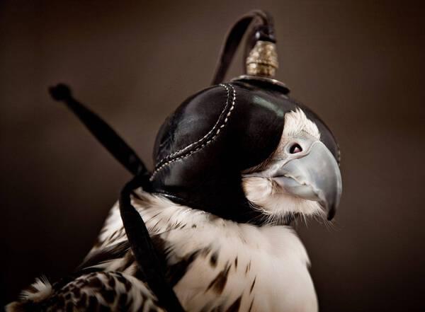 Peregrine Falcon Hooded (PE102)