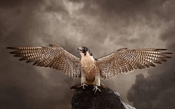 Peregrine Falcon Wings (PE261)