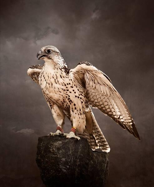 Saker Falcon Icon (SA110)