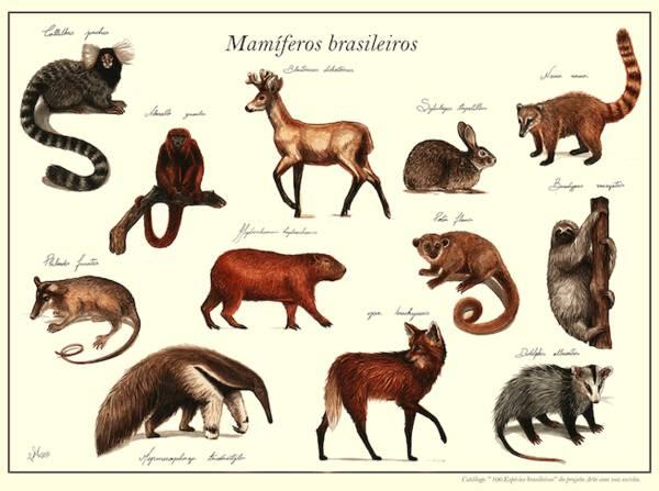 Board 7 - Brazilian Mammals